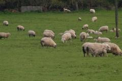 Sheep Happily Grazing