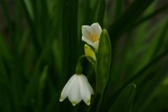 Snowbells in bloom