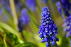 Muscari in Bloom