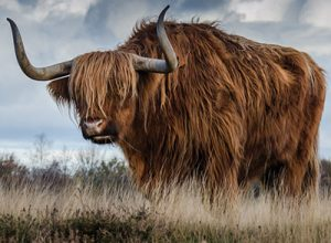 A Highland Bull in tall grass