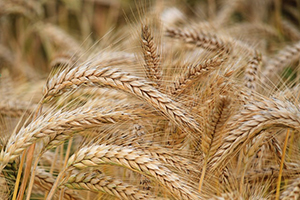 Picking Wheat the harvesters missed - The Social Welfare of Ancient Israel! - Deuteronomy 24:19 - 22