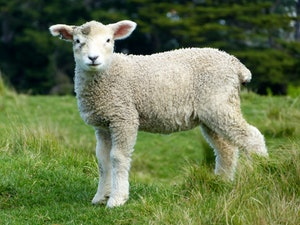 The man who did this deserves to die! He must pay for that lamb four times over, because he did such a thing and had no pity.